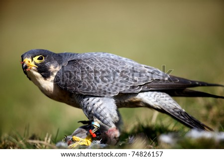 peregrine falcon eating a pigeon - stock photo