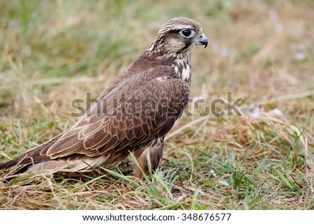 Peregrine Falcon eating a pigeon. young handsome hawk in nature - stock photo
