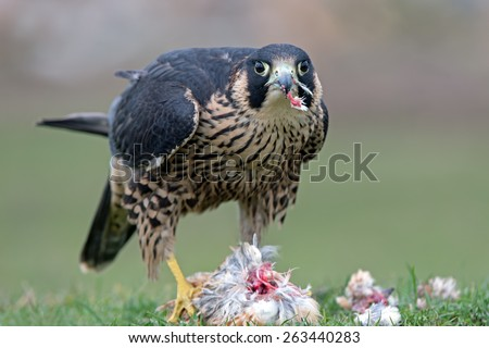 Peregrine Falcon eating captured bird/Peregrine Falcon/Peregrine Falcon (Falco Peregrinus) - stock photo