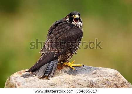 Peregrine Falcon, Falco peregrinus, bird of prey sitting on the stone with green forest background, nature habitat, France - stock photo