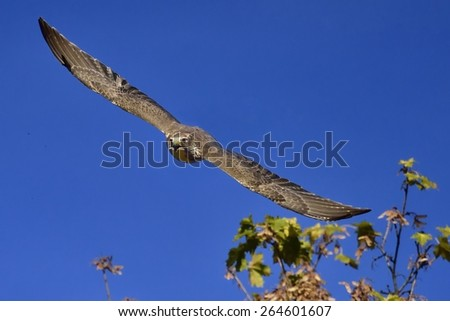Peregrine falcon (Falco peregrinus) in fly. - stock photo