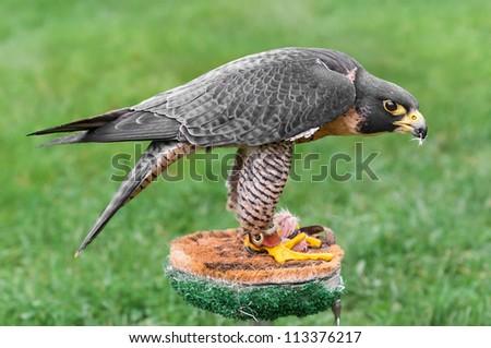 Peregrine Falcon (Falco peregrinus) Mantles Over Food - stock photo