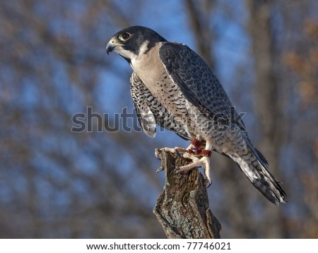 Peregrine Falcon (Falco peregrinus) The Peregrine is renowned for its speed reaching speeds of over 320 km/h (200 mph) making it the fastest member of the animal kingdom - stock photo