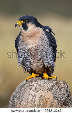 Peregrine falcon (Falcon peregrinus) sitting on a rock - stock photo