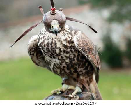 Peregrine falcon on leather glove of handler - stock photo