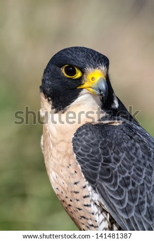Peregrine Falcon perched on a tree branch in the morning sun - stock photo