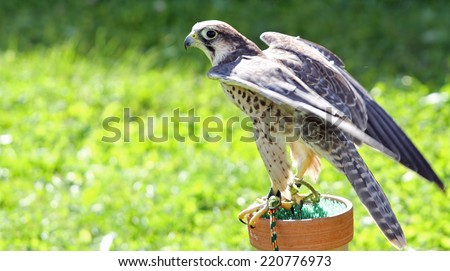 Peregrine Falcon perched on a trestle during a demonstration of birds of prey - stock photo