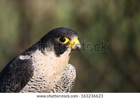 Peregrine Falcon portrait  - stock photo