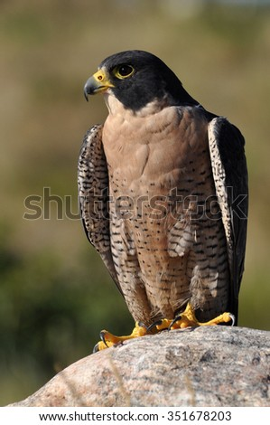 Peregrine falcon resting on a rock - stock photo