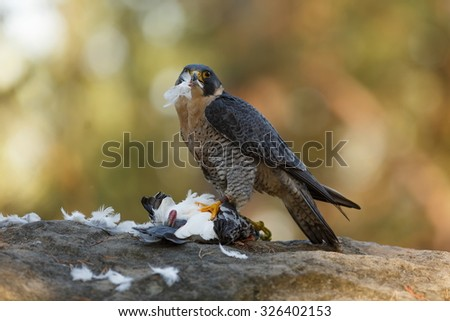 Peregrine falcon sitting with the prey - stock photo