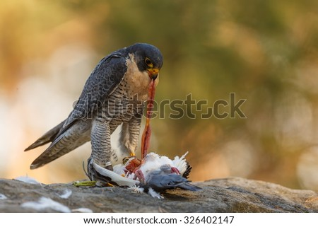 Peregrine falcon tearing the guts out of the prey - stock photo