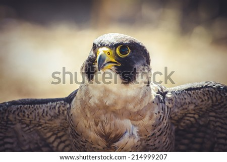 peregrine falcon with open wings , bird of high speed - stock photo