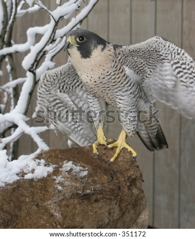 Peregrine Falcon with Wings Spread - stock photo
