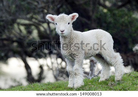 Perendale Sheep lamb.It's a breed of sheep developed in New Zealand by Massey Agricultural College (now Massey University) for use in steep hill situations. It is raised primarily for meat. - stock photo