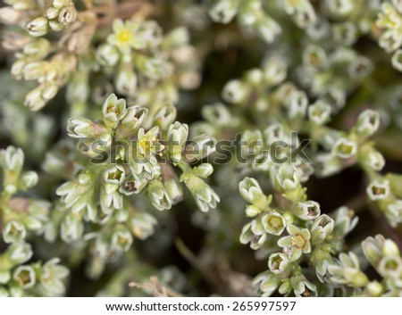 Perennial knawel, Scleranthus perennis - stock photo