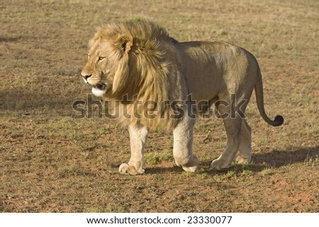 Perfect evening light as a Male lion approaches the Land Rover - stock photo