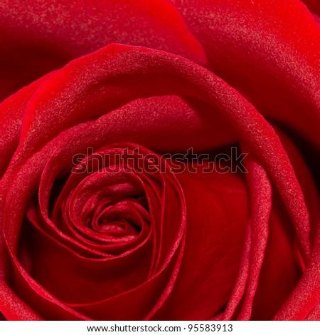 Perfect florist rose, closeup - stock photo