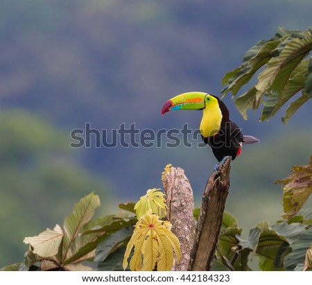 Perfect Perch...A Keel-billed Toucan perfectly positioned to show it's colorful plumage, perceives all that surrounds it.  Photographed in the wild in rural Costa Rica near Arenal Volcano. - stock photo