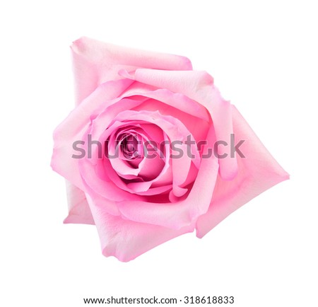 perfect pink rose  isolated on white - stock photo