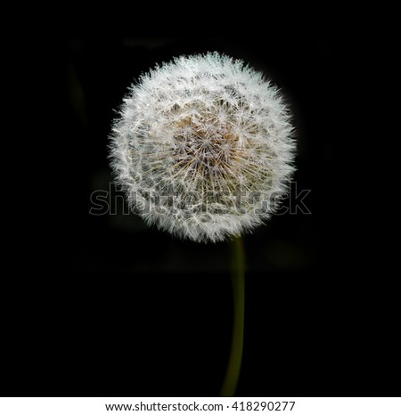 Perfect sphere of dandelion in morning dew water drops on dark background. Dandelion abstract closeup, tranquil art scene. - stock photo
