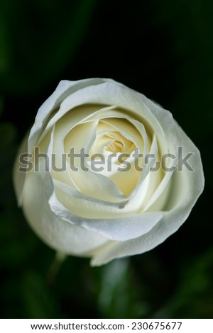 Perfect white rose - stock photo