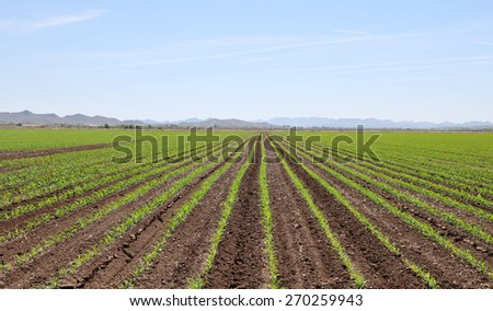 Perfectly straight rows in a roadside field in Goodyear, Arizona - stock photo