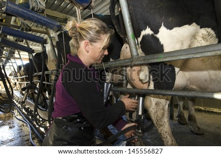 PERIA, NZ - JULY 07:Milkman milks cows in milking facility on July 07 2013.The income from dairy farming is now a major part of the New Zealand economy, becoming an NZ$11 billion industry by 2010. - stock photo