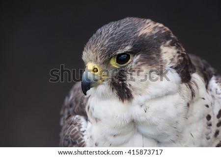 perigrine falcon close up - stock photo