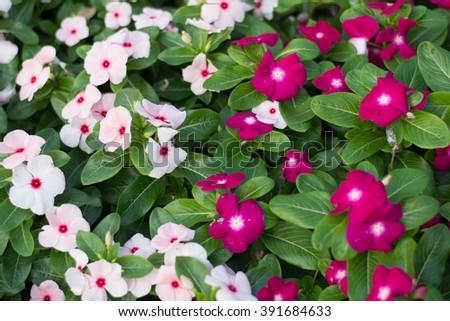 Periwinkle flowers in garden,foliage Vinca flowers - stock photo