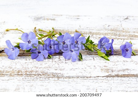 periwinkle on old wood background - stock photo