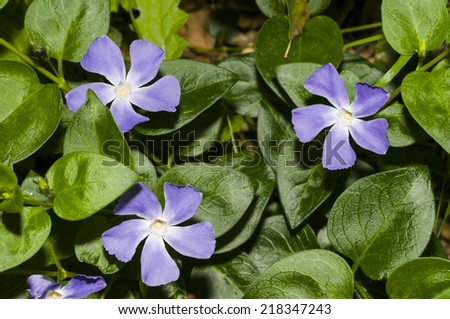Periwinkle (Vinca minor) in Santa Barbara, CA - stock photo