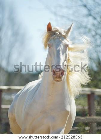 perlino lusitano horse with blue sky background - stock photo