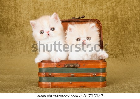 Persian and Exotic kittens sitting inside small suitcase luggage on green background - stock photo