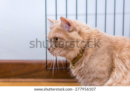 Persian and maine coon breed male cat looking from the side. - stock photo