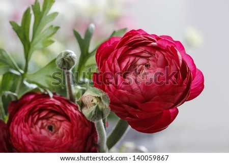 Persian buttercup flowers (ranunculus) isolated on white background - stock photo