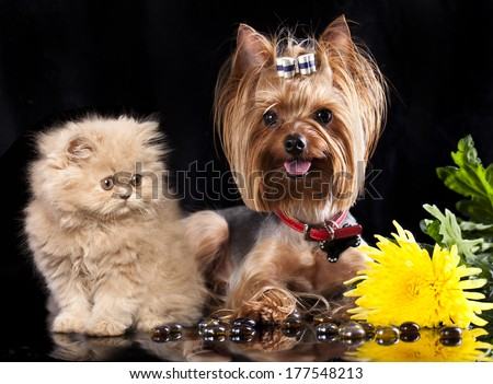 Persian cat and Yorkshire Terrier - stock photo