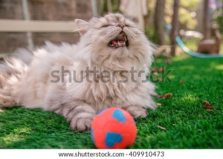 Persian cat happy/ Laughing with his ball on grass tufted in the garden, Persian cat playing red ball. a little ball on grass - stock photo