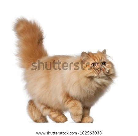 Persian cat, 7 months old, in front of white background - stock photo