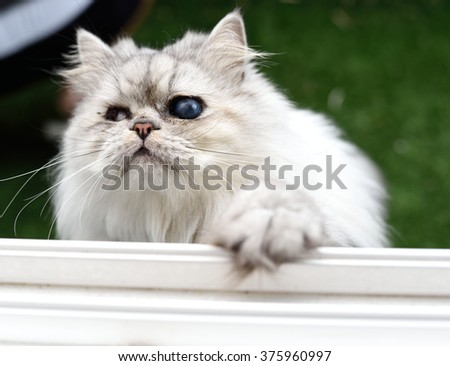 Persian Cat need to come home,Playing Hide and Seek, Cat hidden and concentrate outside the window, outdoor - stock photo