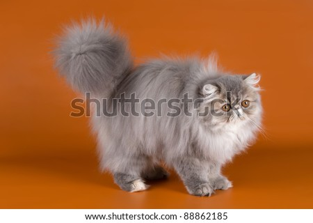Persian cat on orange background - stock photo