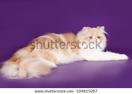 Persian cat on violet background - stock photo