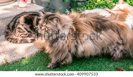 Persian cat running and playing on grass tufted in the home garden, cats finding something in the garden, american short Hair and Persian cat playing together - stock photo
