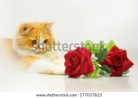 persian cat with red rose on white - stock photo