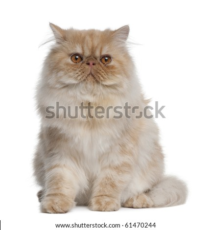 Persian Cat, 1 year old, sitting in front of white background - stock photo