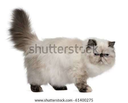 Persian Cat, 2 years old, standing in front of white background - stock photo