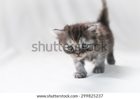 Persian Chinchilla Kitten Staring - stock photo