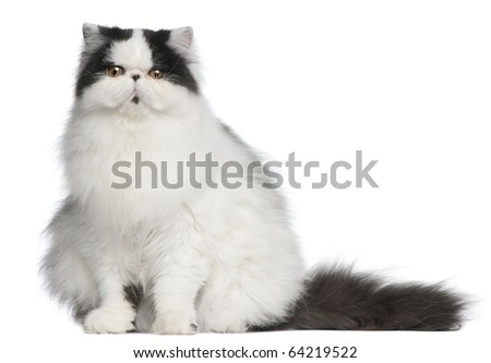 Persian Harlequin cat, 6 months old, sitting in front of white background - stock photo