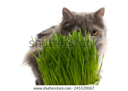 Persian kitten and a pot of green grass, isolated on white - stock photo