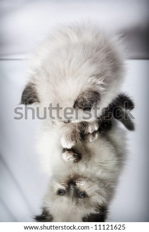 persian kitten and his reflection in the mirror - stock photo