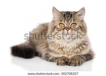 Persian kitten 3 months old lying down on white floor - stock photo
